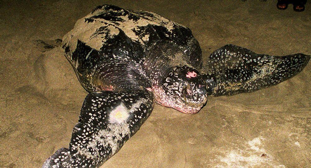 سلحفاة ضخمة من فصيلة السلاحف جلدية الظهر