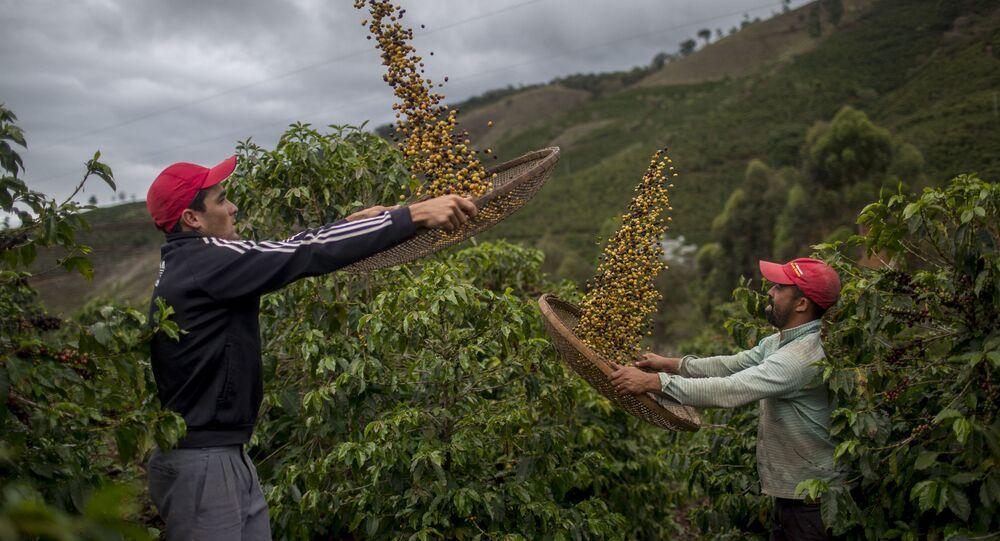 مزارع البن البرازيلي