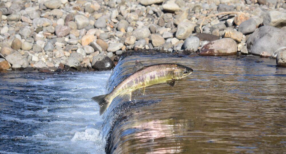 سمكة سلمون تعبر المطبات المائية