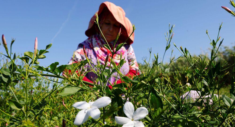 حصاد أزهار الياسمين المستخدمة في صناعة العطر الشهير شانيل رقم 5 (Chanel No. 5) في بيغوماس، بالقرب من غراس، جنوب فرنسا 26 أغسطس 2021