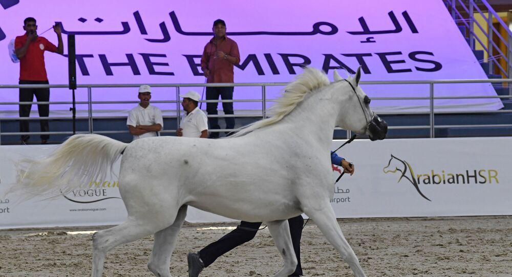 حصان عربي ، يملكه مربط دبي للخيل العربية
