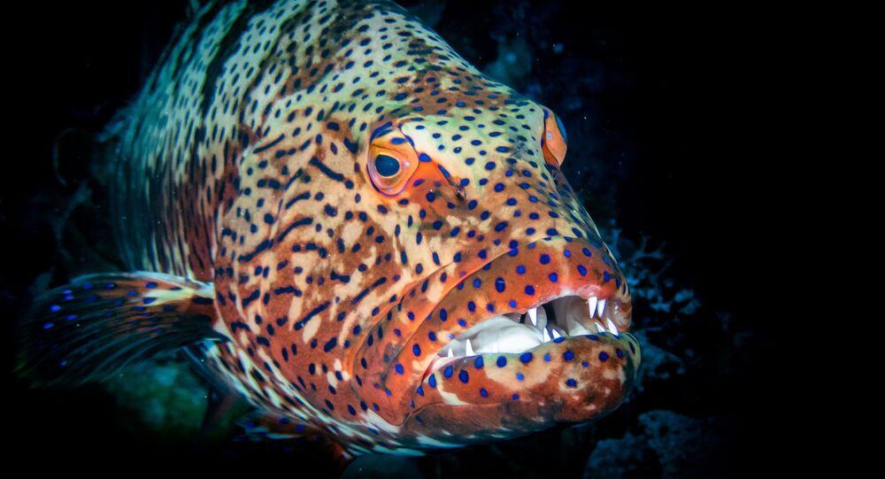 سمكة هامور عملاقة