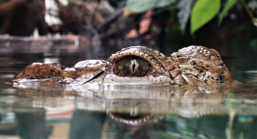رأس تمساح يظهر من أسفل المياه
