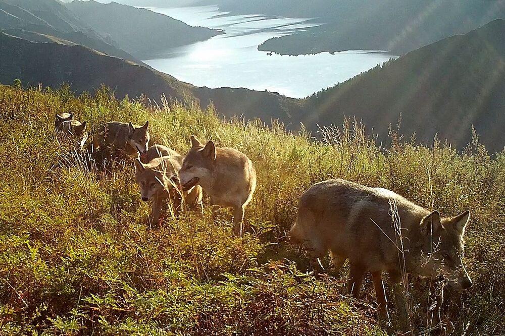 ذئاب برية في غابات التايغا في سيبيريا، روسيا 26 سبتمبر 2021