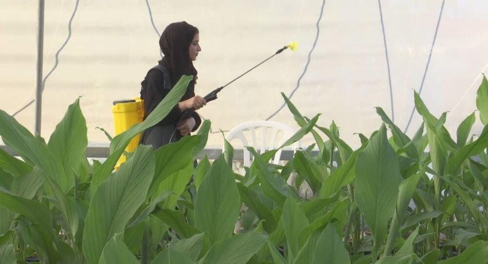 مهندسة زراعية تواجه البطالة وتنجح في انتاج نبتة الكركم