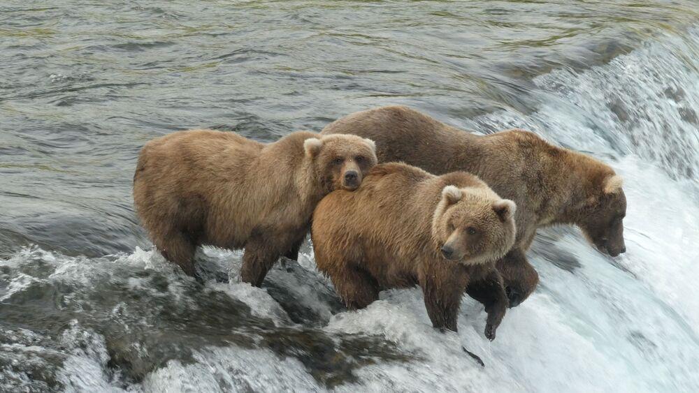 شبل الدب البني يقف وسطالنهر قبل التوجه إلى السبات في متنزه ومحمية كاتماي الوطني في ألاسكا، الولايات المتحدة في 5 سبتمبر 2021.