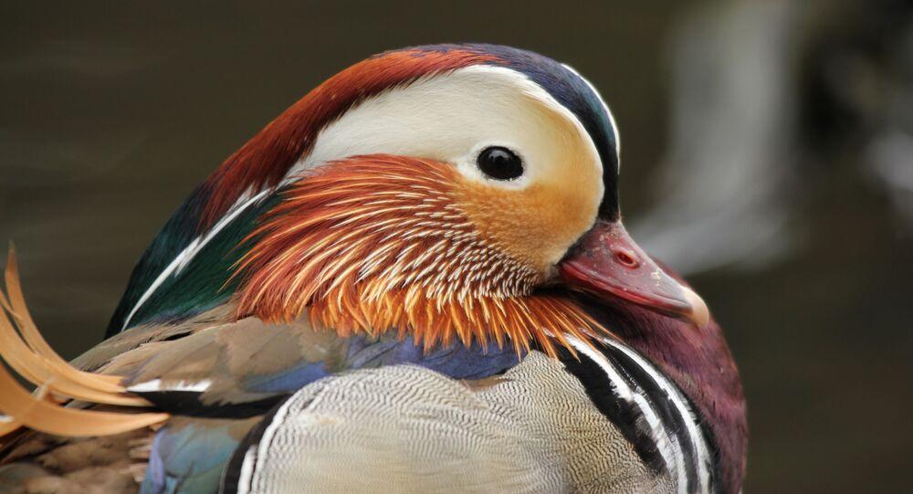 أحد أصناف طيور البط الملونة