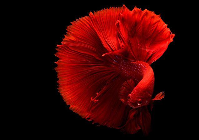 سمكة زينة حماراء