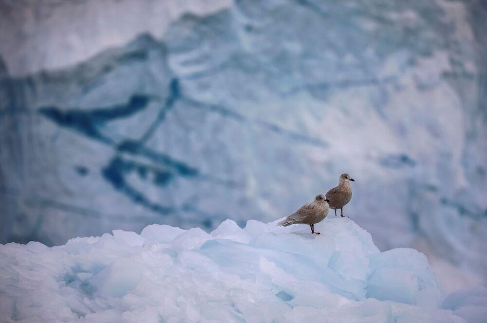 طيور النورس تقف على الجليد أمام نهر إكي الجليدي في شمال إيلوليسات، غرينلاند ، 15 سبتمبر 2021