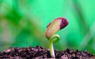 نبتة الفاصولياء أثناء النمو