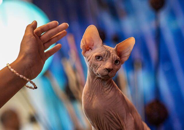 قطة من فصيلة سفينكس، في معرض القطط- 2015 في موسكو