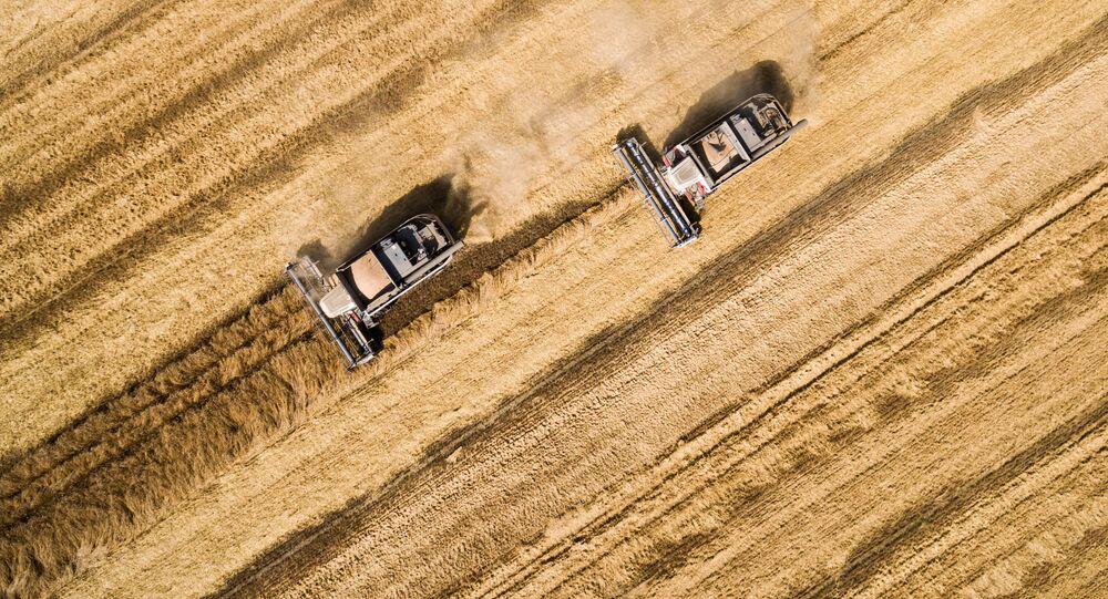 جني المحصول الزراعي في إقليم كراسنودار