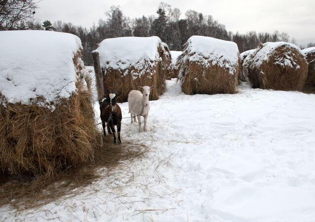 حيوان الماعز يقف وسط ثلج كثيف في قرية بيريزوفكا بمقاطعة تومسكايا