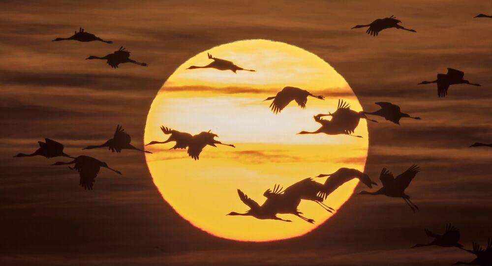 هجرة طيور الكركية من أماكن تكاثرهم في شمال ألمانيا إلى جنوبها، 31 أكتوبر/ تشرين الأول 2016