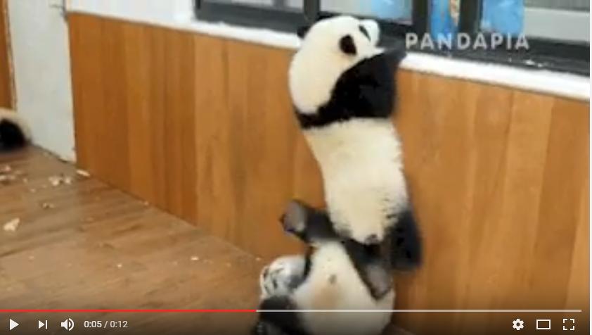 الباندا تساعد