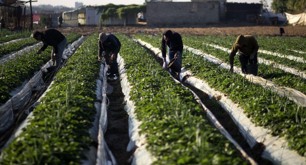 فلاحون فلسطينيون يجمعون الفراولة في بيت لاهيا، شمال قطاع غزة، فلسطين، 7 ديسمبر/ كانون الأول 2016