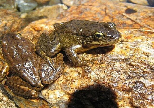 Georgia has exported more than 21 tons of frogs in the past years, mainly to France and Belgium.