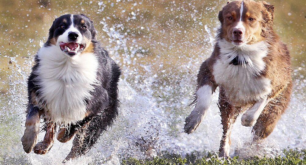 كلاب أسترالية من فصيلة شيفارد، فرانز (يسار الصورة) وليزي (يمين الصورة)، في حديقة فرانكفورت، ألمانيا 13 مارس/ آذار 2017