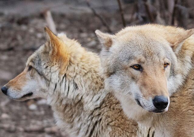 ذئب رمادي في حديقة موسكو للحيوانات