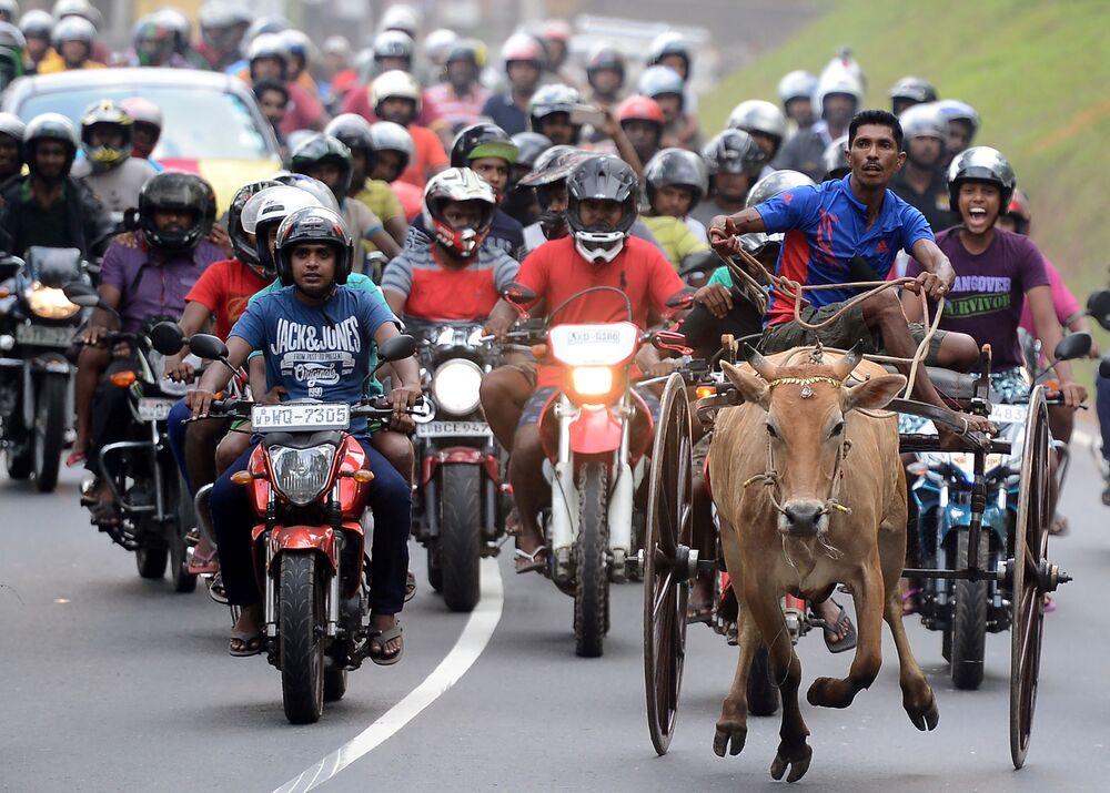 مشاركون في سباق تقليدي لعربات الأبقار في إطار فعاليات الاحتفال برأس السنة القومية في سريلانكا، 23  أبريل/ نيسان 2017