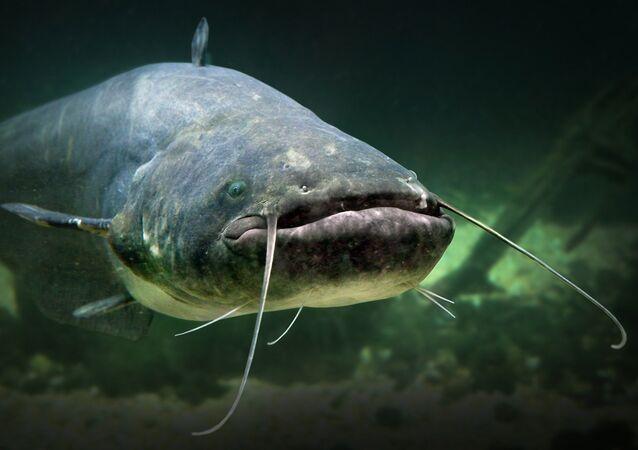 سمك السلور