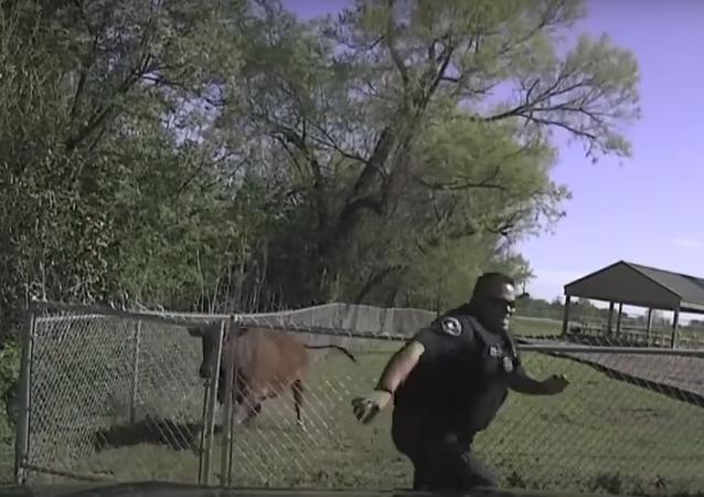بقرة تنتقم من شرطي أعادها للمزرعة