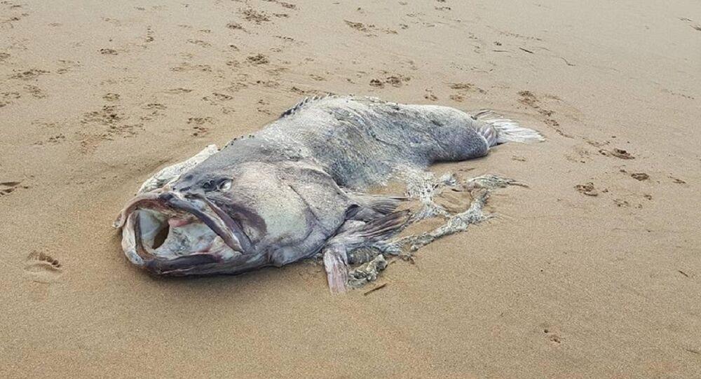 سمكة ضخمة على الشاطئ الأسترالي