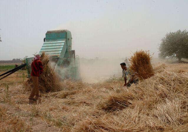 عمال سوريون يعملون في موسم حصاد القمح