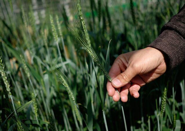 ازدهار القمح