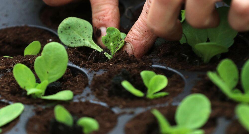 موظفة نباتات الحضانة النباتية  تزرع الشتلات الزراعية