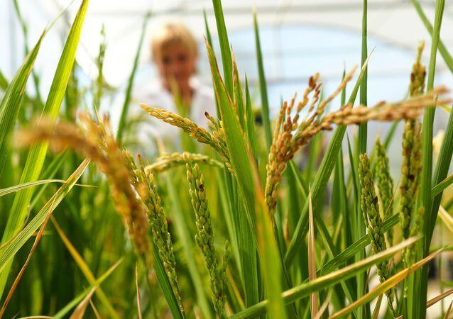 زراعة الأرز في إقليم كراسنودار، روسيا