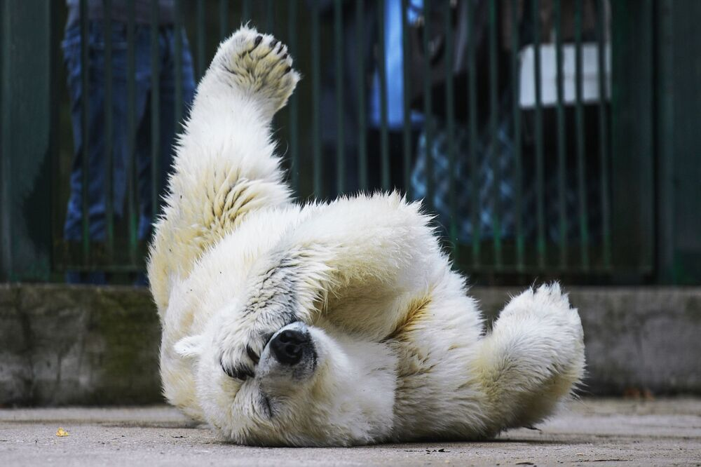 الدبة البيضاء أومكا-أيان في حديقة موسكو للحيوان