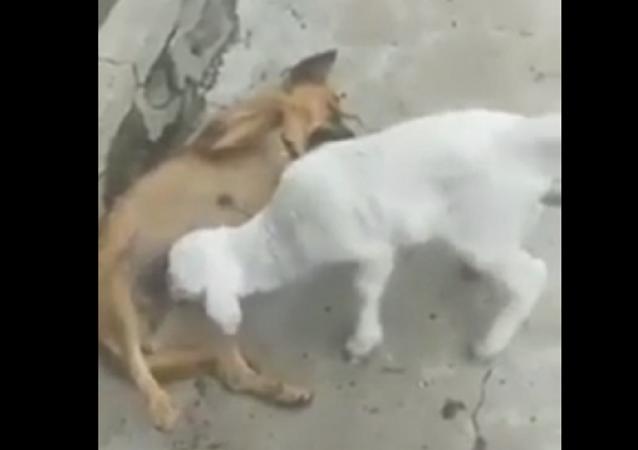 حمل صغير يهاجم كلبة بعدوانية ليرضع من ثديها