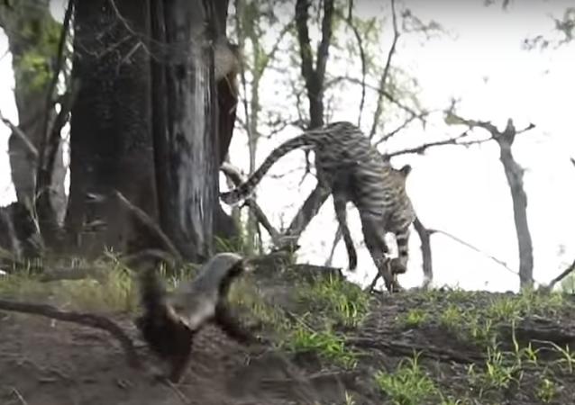 حيوان غرير العسل ينقض عل نمر حاول افتراس صغيره ويجبره على الهروب