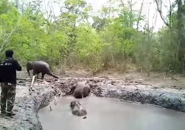 بالفيديو.. إنقاذ فيلة صغار علقوا في حفرة طين عدة أيام