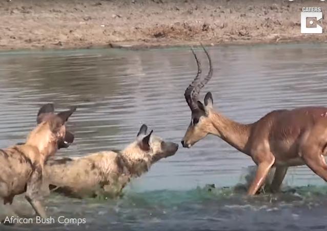 غزال يهرب من فكي تمساح فتفترسه كلاب برية