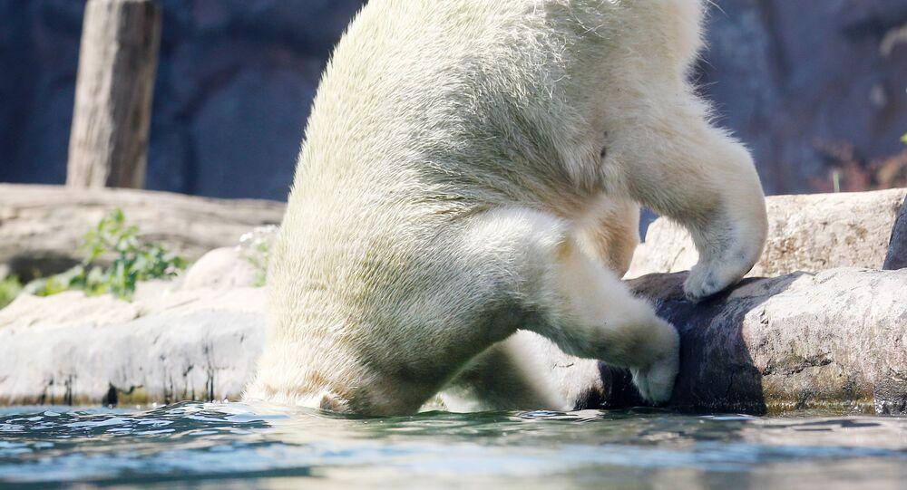 دب قطبي يلعب بالماء في حديقة حيوان في غلزنكيرشن، غرب ألمانيا 25 يونيو/ حزيران 2019