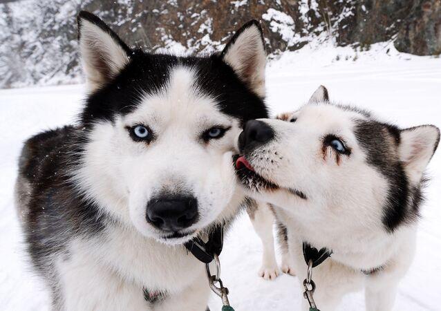 كلاب هاسكي السيبيرية من فريق رويف روتشي في حديقة للنباتات والحيوانات، بعد سباق طوله 10 كيلومترات استعدادًا لمنافسات التزلج في إقليم كراسنويارسك الروسي، 4 مارس 2020