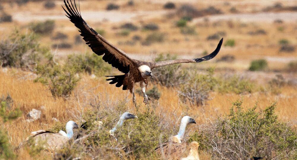 نسور غيفرين تحمل علامات التتبع الخاصة بها في موقع يستخدم كمحطة تغذية لها، ضمن مشروع وطني لحماية وزيادة نسل الطيور المحمية في إسرائيل، بالقرب من سديه بوكر  في جنوب إسرائيل، 14 مايو/ أيار 2020.
